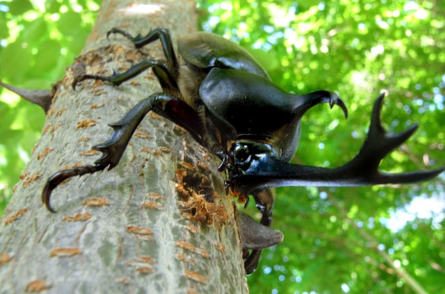 カブトムシ完全飼育マニュアル・捕まえて、飼育して、幼虫を育てよう!