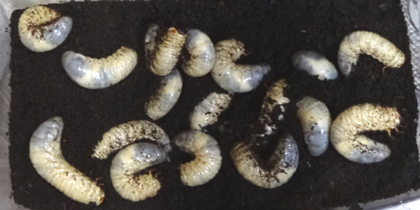 カブトムシの幼虫は共食いしない!通説は間違い?幼虫の密度とエサの関係