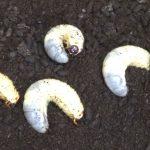 カブトムシの幼虫の飼育・腐葉土を交換する時期、タイミングの見極め