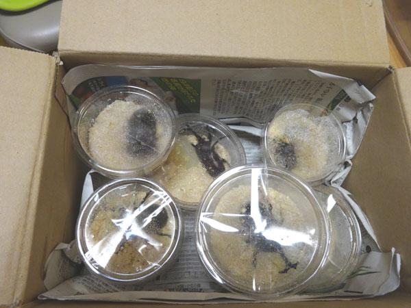 ヤフオクで購入したカブトムシが段ボールには行って届いた