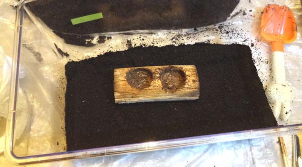 カブトムシのメスが産卵しやすい飼育ケースの作り方・土を固める